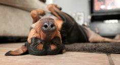 min pin <3 Mini Pinscher, Miniature Pinscher, Doberman Pinscher, Min Pin Dogs, Pin Pics, Dogs Of The World, Savannah Chat, Cute Pictures, Cute Animals