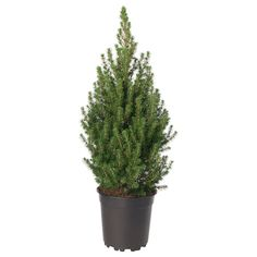 PICEA GLAUCA CONICA Potted plant - White spruce - IKEA Orchid Seeds, Flower Seeds, Kallax, Ceramic Pots, Clay Pots, Cactus Plants, Potted Plants, Flying Duck Orchid, Hair Rainbow