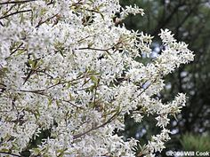 Autumn Brilliance Serviceberry~ White flowers in spring on a small, multi-stemmed tree. Green leaves turn a bright red in the fall. Garden On A Hill, Love Garden, Garden Paths, Paw Paw Tree, Deer Proof Plants, Birmingham Botanical Gardens, Landscaping Trees, Fall Plants, White Gardens