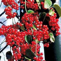 1000 images about schisandra chinensis on pinterest berries traditional chinese medicine and. Black Bedroom Furniture Sets. Home Design Ideas