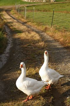 A pair of geese was a prize wedding gift in pioneer days. The geese would give you eggs and be great watch dogs. (They set off a great fuss whenever strangers come around.) When necessary they could be killed to provide meat for the table & feathers for pillows or a mattress.
