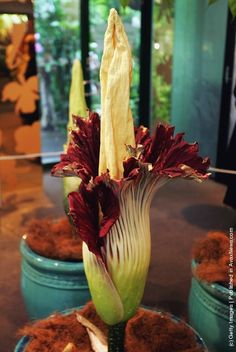The Titan Arum (Amorphophallus titanum), also known as the Corpse Flower Unusual Flowers, Big Flowers, Amorphophallus Titanum, Titan Arum, Corpse Flower, Elements Of Nature, Flower Pictures, Natural World, Botanical Gardens