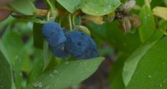 Haskaps: A Northern Climate Fruit Similar to Blueberry   Community Post: 10 Easy Garden Crops You've Never Heard Of