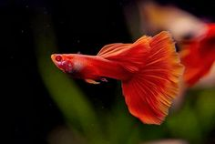 Сергей Макаренко – Google+ Tropical Fish Aquarium, Freshwater Aquarium Fish, Guppy, Oscar Fish, Beautiful Fish, Aquatic Plants, Goldfish, Marine Life, Betta