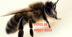 Explore the different types of honey bees found in the US. Each race of honey bee has specific characteristics. Choose a honey bee that fits your needs. Types Of Honey Bees, Raising Bees, Best Honey, Funny Tattoos, Bee Keeping, Explore, Bee Hives, Worm Composting