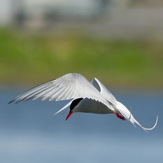 Kría -Arctic terns (Sterna paradisaea)
