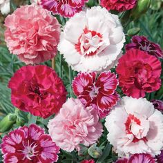 Nurserymans Choice Dianthus Plants from Thompson & Morgan - experts in the garden since 1855 South African Flowers, Dianthus Caryophyllus, Pink Perennials, Biennial Plants, Pink Carnations, Pretty Flowers, Prettiest Flowers, Planting Flowers, Wedding Flowers