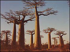 """El baobab, el gran árbol de África, No destaca por la belleza de su follaje... y ahí radica su encanto. Con un aspecto casi prehistórico...    Existen ocho especies de baobab, siete de ellas las encontramos en África -seis son endémicas de Madagascar- y una en Australia.     Su aspecto impresionó a Antoine de Saint-Exupéry  protagonista de uno de los capítulos de El Principito"""".    Son de extraordinaria longevidad pueden alcanzar hasta los 3.000 años de vida."""