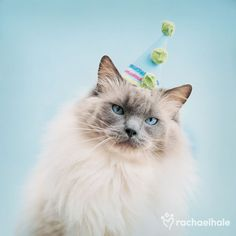 Chico Party Hat (Moggy ) - Party time brings a smile to Chico. Cat Birthday Memes, Birthday Kitty, Happy Birthday, Pretty Cats, Cute Cats, Happy Pictures, Happy Pics, Cat Celebrating, Animal Party