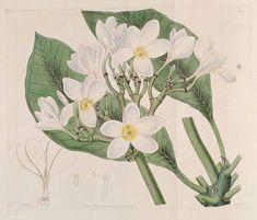 18th century botanical drawings frangipani flower - Google Search