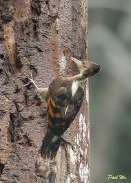 Pica-Pau-de-Costa-Laranja ------------ ( Reinwardtipicus Validus ) ----------- ( Fêmea ) - Indonésia, India.