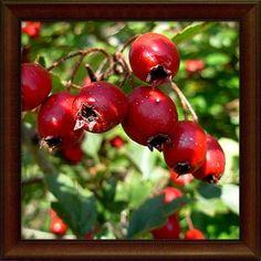 Hloh obecný plod - 50g