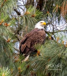 Bald Eagle - JohnSlotPhotography.com