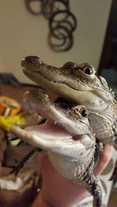 Cute Reptiles, Reptiles And Amphibians, Wild Creatures, Cute Creatures, Krokodil Tattoo, Animals And Pets, Baby Animals, Mon Zoo, Baby Alligator