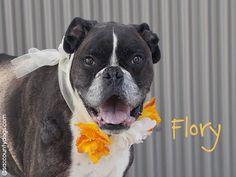 Boxer dog for Adoption in Sacramento, CA. ADN-638148 on PuppyFinder.com Gender: Female. Age: Senior