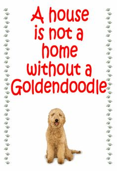 A house is not a home without a goldadendoodle