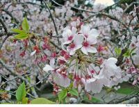SCREENING TREE flowering cherry or plum - maybe something like this?  also has information on Mill Valley fruit.  We'd want something shade tolerant and not too sprawly - a tall order.