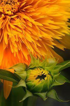 Sunflower, Karasuhara Kobe, Japan.