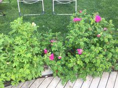 Plane ruze na zahradu
