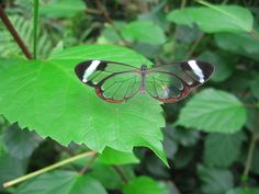 Gorgeous Photo of The Glasswinged Butterfly Taken in Costa Rica