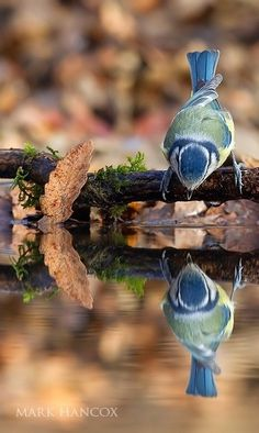 Pajarito mirando su imagen en el  agua
