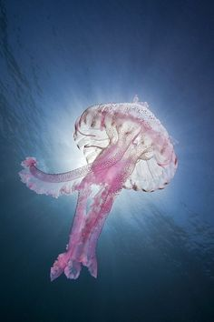 Luminescent jellyfish (Pelagia noctiluca) / by Roland Bach / Balearic Sea, Spain