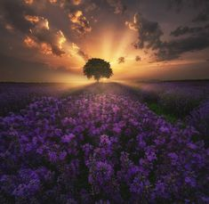 Summer Evening, World's Biggest, Bulgarian, Beautiful Landscapes, Fields, Photo Galleries, Lavender, Earth, Vacation