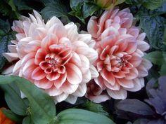 Dalias flowers