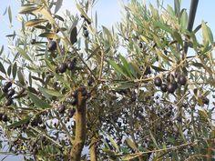 Prachtige olijfbomen vol met olijfjes! Bonsai, String Garden
