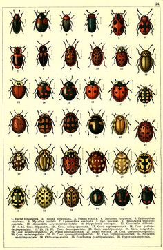 Beetle mania. Georgiy Jacobson, Russian Beetles, Coleoptera (1905-115). #ladybug