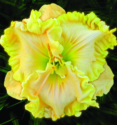 Devine Seduction Daylily