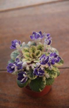 Petite Jewel. African Violet, Saintpaulia, Grown by Boa Linn, photo taken by Boa Linn.