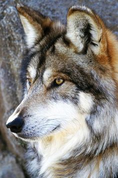 A beautiful wolve picture