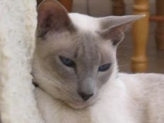 "This looks EXACTLY like my little ""Bo"" we lost 7 yrs ago.... he was a LILAC POINT SIAMESE.  Absolutely Beautiful.... Miss him so....he WAS an Angel."