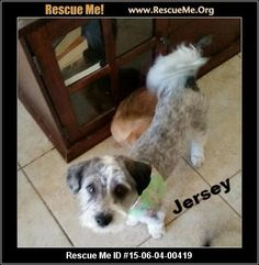 Rescue Me ID: 15-06-04-00419Jersey (male)  Havanese Mix    Age: Young Adult  Compatibility:	 Good with Most Dogs, Good with Most Cats  Health:	 Neutered, Vaccinations Current       Oh he is handsome�'�|little Jersey is a Havanese mix. Sweet boy found wandering the streets. Going to the barber shop today to get his hair groomed (see photos, where he has been bathed and shaved for new clean growth to come!) and he will be ready to go to get neutered Monday the 8th of June. He does wonderful…