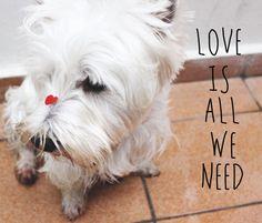 Love is all we need - westie love