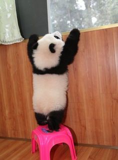 Panda is too short. Cuteness Overload!
