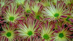Yosun City Chrysanthemum at Longwood Gardens Kennett Square Pennsylvania USA by .