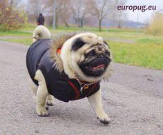 Our autumn walk with a pug - http://europug.eu/autumn-walk-with/