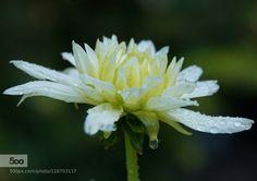 dahlia. - Pinned by Mak Khalaf :) Nature beautydahliadropsflowermacronatureplantrainsummer by sschimera