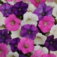"""shock wave petunia - I bought complete mix of colors. Flowers are to 2 """" compared to """"about an inch"""" for calibracha (million bells) and up to on regular petunias Seeded on Sprouted on 12 plants Trailing Petunias, Easy Waves, Shock Wave, Pink And White Flowers, Annual Plants, Flower Boxes, Flower Containers, Flower Seeds, Hanging Baskets"""