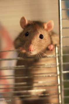 If rats had thumbs, they would rule the world. — <3~ www.love-with-tail.tumblr.com