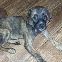 Barrington, RI - Shepherd (Unknown Type). Meet Little Winnie a Dog for Adoption.