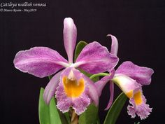 Cattleya Orchid, Plants, Beautiful Flowers, Ballerinas, Bonito, Orchids, Plant, Planets
