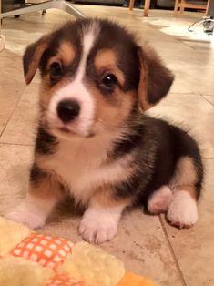 Biscotti the Corgi Puppy https://ift.tt/2H2qDj0 #Puppy #Puppies #Pics #Dog #Adopt #Pets #Animals