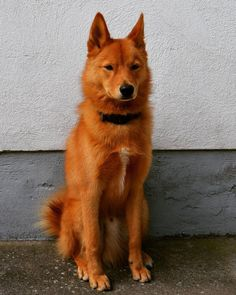 Spitz Dog Breeds, Spitz Dogs, Cute Baby Animals, Animals And Pets, Spitz Puppy, Wolf, Different Dogs, Animal Games, Service Dogs