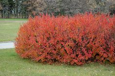 Click to view full-size photo of Hedge Cotoneaster (Cotoneaster lucidus) at Bachman's Landscaping