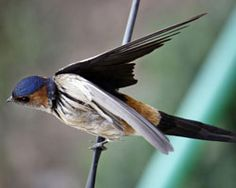 You can see this type birds in Uttaranchal.