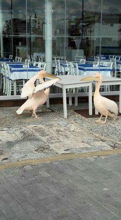 Pelicans in Paphos