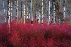 Red Willow Sea by Sean Bagshaw on 500px. Inspiration.